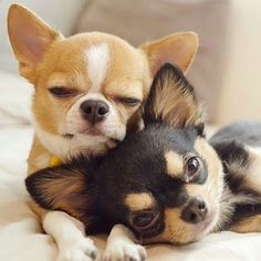 Best Friends... Chihuahua Puppies By: Unknown #chihuahua #chihuahuasofinstagram #chihuahuapuppy #chihuahuapuppies #chihuahuas #puppy #puppies #cute #cuteanimal #adorable #adorableanimal #animals #babyanimals #babyanimals #photooftheday #dog #FF