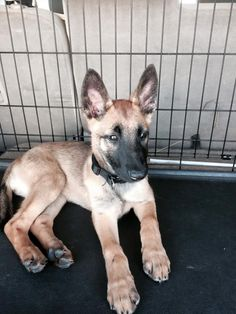 This site had great gear for the dogs. Available Female Malinois ROULETTE