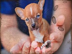 How To Adopt Chihuahua Puppies For Free