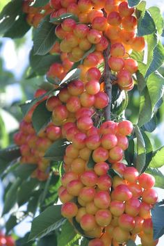 how to grow logan berries from a cutting