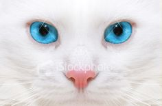 I think the image of a white cat with blue eyes is a great representation of Dream Angels -- the white and blue color scheme is pleasing, and cats are very strong, elegant creatures who can be very playful and fun -- just like a Dream Angels girl!