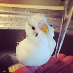 Bahti the budgie taking a bath