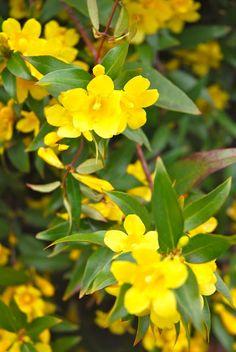 South Carolina State Flower – Yellow Jessamine, Carolina Jasmine