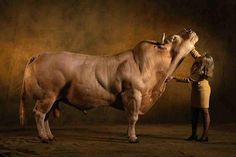 Yann Arthus Bertrand - Farm animal portrait of a Belgian Blue bull Rare Animals, Animals And Pets, Super Cow, Belgian Blue Cattle, Arthus Bertrand, Gado, Dairy Cattle, Beef Cattle, Bull Riding