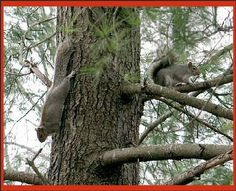 Scampering squirrels in my white pine. They are so funny when they start racing up and down chasing each other, over and over again . . .