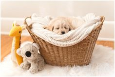 Tamara Jaros Photography 2016 F1 Miniature Goldendoodle Female Breeder: Doodle Country Newborn Puppy Photos