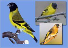 Pássaros: Pintassilgo - CARDUELIS MAGELLANICA