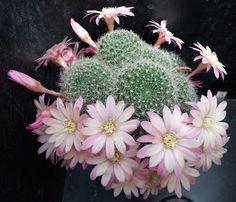 Rebutia, Aylostera and Weingartia: December 2010 – Cactus Cactus Planta, Cactus Y Suculentas, Prickly Cactus, Cactus Vector, Cactus Terrarium, Pink Nature, Agaves, Desert Plants, My Secret Garden