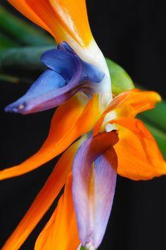 Strelitiza reginae - A favourite of mine for flower arrangements.