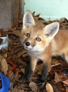 267 Besten Fuchs Bilder Auf Pinterest Foxes Red Fox Und Fox