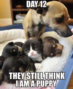 Cat meme. Puppy disguise.