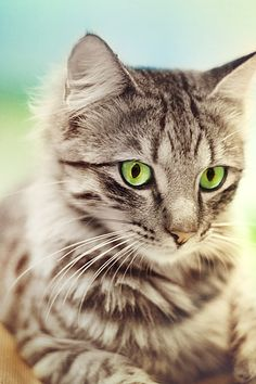 """""""Mother Nature set her jewels in the eyes of a cat."""" --Anonymous"""