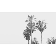 they stab it with their steely knives but they just can't kill the beast #palms #california #travelogue #tracesofplace #landscape #photography #blackandwhite #bwphotography