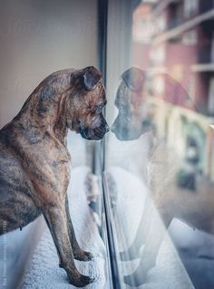 - Now say Again that this dog is dangerous!-.- #love #dog #colour #young #window # street #brown #dark #LOVE