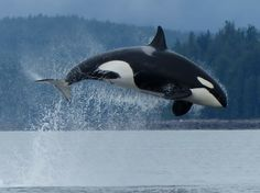 Killer Whale. Free at sea is the only way to see them which is not cruel to the whales. Boycott captivity shows!