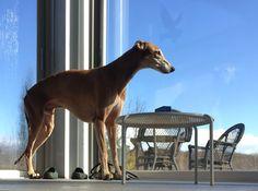 Fritzen Wellington Dali,my love  #greyhound#dogs#hound