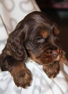 A list of the cutest chocolate cocker spaniel pictures. Are you in the mood to see some adorable photos of chocolate cocker spaniels? This is a list of some of the cutest chocolate cocker spaniel photos. Cocker Spaniel Anglais, Cocker Spaniel Puppies, Springer Spaniel, Clumber Spaniel, Retriever Puppies, Corgi Puppies, Cute Dogs And Puppies, I Love Dogs, Pet Dogs