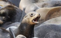 Thousands of California sea lions have taken over the docks of the coastal community in Astoria, Oregon. Picture: REUTERS