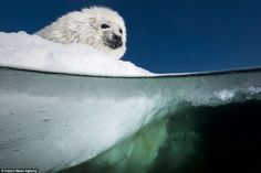 Not convinced: The harp seal reluctantly looks down at the icy cold water below and doesn'...