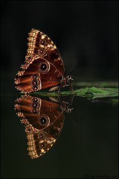 Does the reflection even get noticed? I would sure like to talk to a butterfly.I'd be captured in a butterfly net myself so the conversation would never be reported. Amazing Animals, Animals Beautiful, Beautiful Bugs, Beautiful Butterflies, Simply Beautiful, Flying Flowers, Butterfly Kisses, Chenille, Tier Fotos