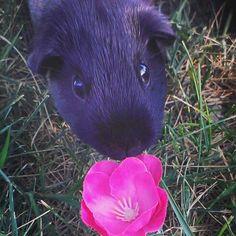 Guniea pig, cute rodent, rodent, pet, pink flower, small pet , photography