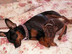 Min Pins, puppies