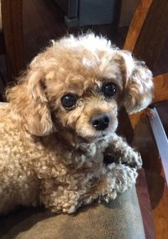 Belle,short ears in Toy Poodle Puppies, Toy Poodles, Puppies And Kitties, Poodle Mix, Doggies, Animals And Pets, Funny Animals, Cute Animals, I Love Dogs