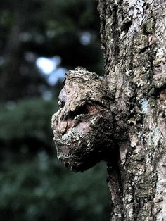 Tree Face by Mr. Ducke, via Flickr .. so cool! A gargoyle in the forest!