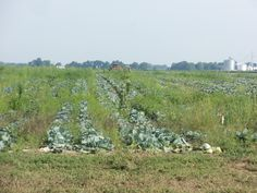 Looking north  from 300N onto a cabbage field