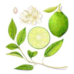 Lime, Citrus Aurantifolia // Scientific Illustration // Archival Art Print, food, botany, green, kitchen