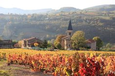 -Vigne colorée par l'automne