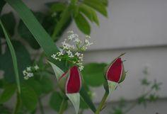 https://flic.kr/p/urUWsu | rosebuds | Standing in for Baby's Breath is a knotweed flower.