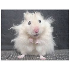 I had a hamster like this when I was little. His name was Chandler Joey (from Friends) and he was lovely and fluffy and everything a hamster should be. Funny Cute, The Funny, Funny Shit, Funny Stuff, Funny Drunk, Hilarious Jokes, 9gag Funny, Funny Dogs, Stress Pictures
