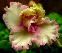 African violet PLUG starter plant GREEN ROSE (RUSSIAN: LE ZELENAYA ROSA)