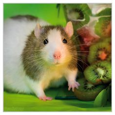 Mani 9 - Fancy rat by DianePhotos.deviantart.com on @deviantART