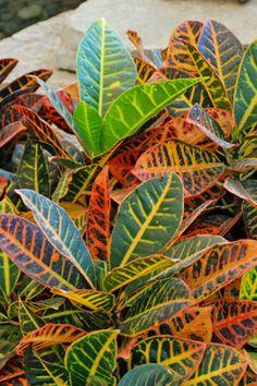 """Codiaeum Variegatum """"Garden Croton"""" Or """"Variegated Croton 400 x 300"""