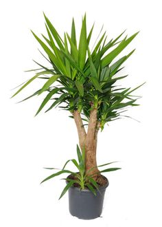 dracaena marginata madagascar dragon tree super low maintenance indoor plant okay with. Black Bedroom Furniture Sets. Home Design Ideas