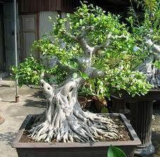 Image result for bonsai de figueira