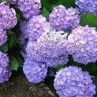 Hortensia snoeien, Hortensia onderhoud & tips Growing Greens, Garden Inspiration, Landscape, Vegetables, Blog, Gardening, Gardens, Plants, Flowers