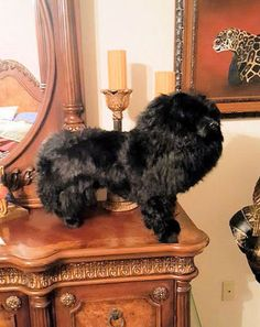 LARGEST-Chow-Chow-Dog-Collectible-Photo-Prop-Almost-Lifesize-Replica