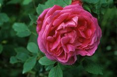 Although it's technically not a state, the District of Columbia has a official flower — and it's not the cherry blossom. The American Beauty Rose blooms in late spring to early summer and can grow up to 15 feet tall.  via The Flower Expert