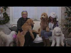 Sherri's VLOG - F1 vs F1b Smeraglia Teddy Bear Goldendoodles - YouTube Top Dog Breeds, Dapper Dan, Goldendoodles, Puppy Play, Our Kids, F1, Teddy Bear, Puppies, Facebook