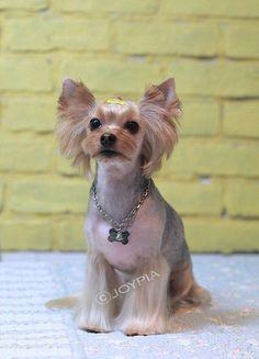 yorkshire terrier grooming style images | Korean Dog Grooming Style — Yorkshire Terriër