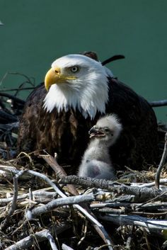 Bald Eagle and Eaglet Animals And Pets, Baby Animals, Cute Animals, Exotic Birds, Colorful Birds, Beautiful Birds, Animals Beautiful, Eagle Pictures, Eagle Bird
