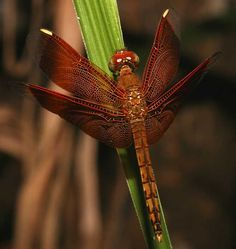 Neurothemis ramburii ramburii - so good they named it twice! It's sometimes called a variable skimmer, and is therefore a member of the largest family of dragonflies, called skimmers or perchers, which contains over 1000 species.