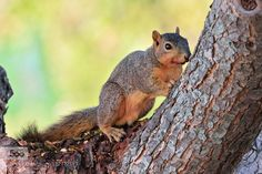 Fox Squirrel by cmcneill17. Please Like http://fb.me/go4photos and Follow @go4fotos Thank You. :-)