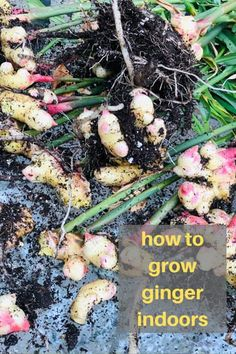 Learn how to grow ginger in this informative step by step guide! From growing to harvesting to preserving your own homegrown ginger! Planting Ginger Root, Ginger Plant, Grow Ginger, Fresh Ginger, Inside Garden, Veg Garden, Easy Garden, Indoor Garden, Indoor Plants