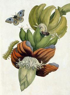Banana Flower by Maria Sibylla Merian | Victoria and Albert Museum