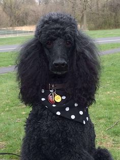 poodle haircuts photos 1000 images about standard poodles on 5429