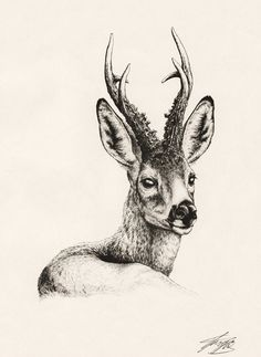 European Roe Deer by ~Tragelaphus on deviantART